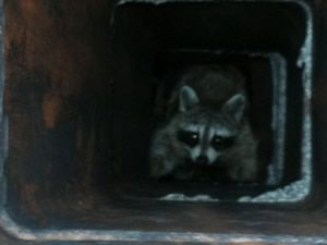 Cover your chimney to keep out raccoons